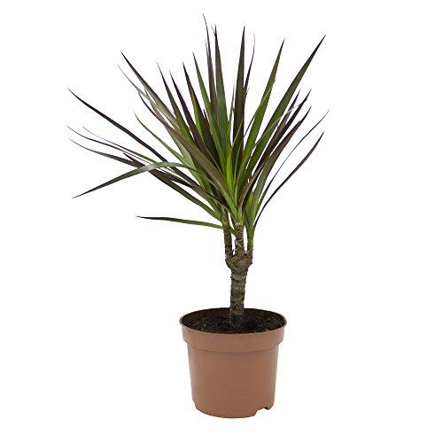 Dominik Blumen und Pflanzen, Drachenbaum, Dracena marginata, 1 Zimmerpflanze, ca. 30 cm hoch, 10, 5 cm Topf