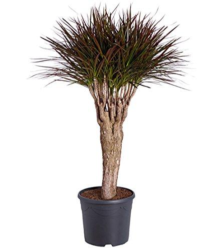 Dehner Drachenbaum Sunray, dreitriebig, ca. 110-120 cm, Zimmerpflanze