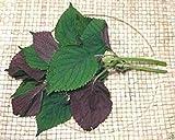 PLAT FIRM-SEEDS 1000 Vietnamesisch Perilla sät (Perilla) Warme Jahreszeit Jahres, Asian Herb