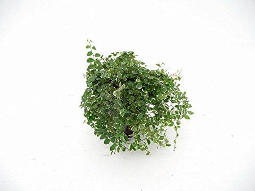 Kletter-Feige, Ficus pumila Sunny, Zimmerpflanze in Hydrokultur, 15/19er Kulturtopf, 20 - 30 cm