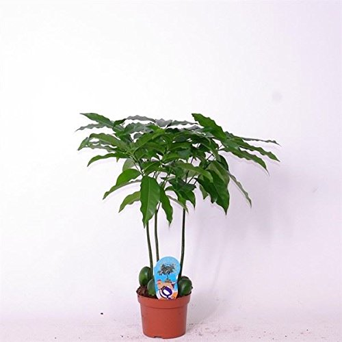 rarely-offered-castanospermum-australis-jacks-beanstalk-houseplant