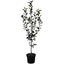 Müllers Grüner Garten Shop Apfelbaum Holsteiner Cox beliebter süßsäuerlich Apfel 2-jähriger Buschbaum 150-170 cm 10 L Topf M7