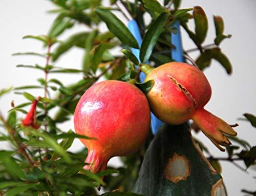 AIMADO Samen-20 Stück BIO-Granatapfel Samen Sommer Saatgut Obst gesund& Vitamin C winterhart mehrjährig für Terrasse/Balkon/Garten