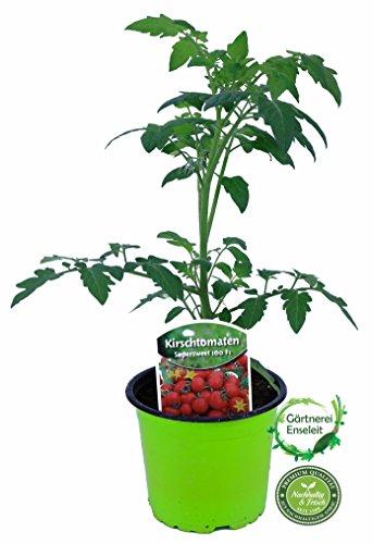 tomatenpflanze-supersweet-100-f1-veredelte-kirschtomate-cocktailtomate-tomatenpflanzen