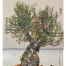 Pachycormus Discolor, Elefantenbaum Caudiciform Trunk Caudex Bonsai Seed 5 Samen