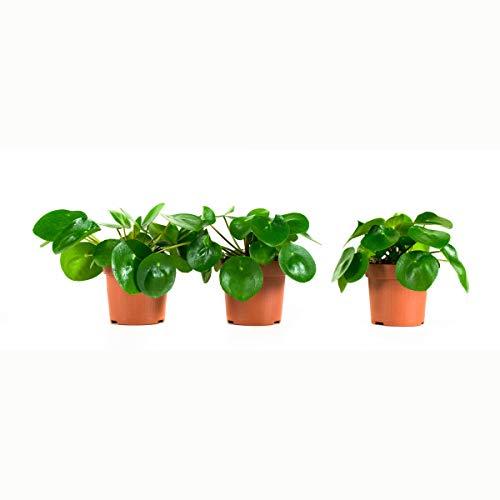 FloraAtHome - Grünpflanze - Peperomioides - Ufopflanze - 22cm hoch - 3er-Set