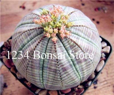 agrobits vendita calda! piante succulente 100 pz euphorbia obesa bonsai, molto rale fiore di cactus pianta in vaso per il giardino piantare, facile da coltivare: 4