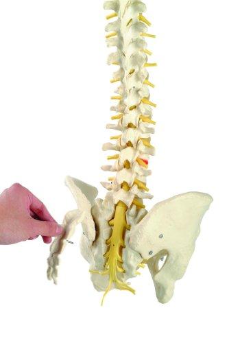 Zoom IMG-1 s24 3124 colonna vertebrale con