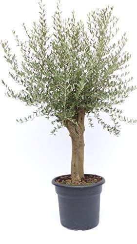 Olivenbaum 150-170 cm, 40 Jahre alt, beste Qualität, winterharte Olive