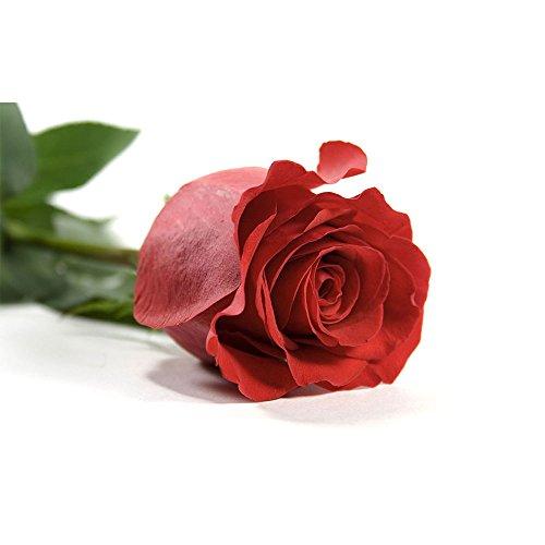 verdissimo-rosaamorosa50cmsrojo20unid
