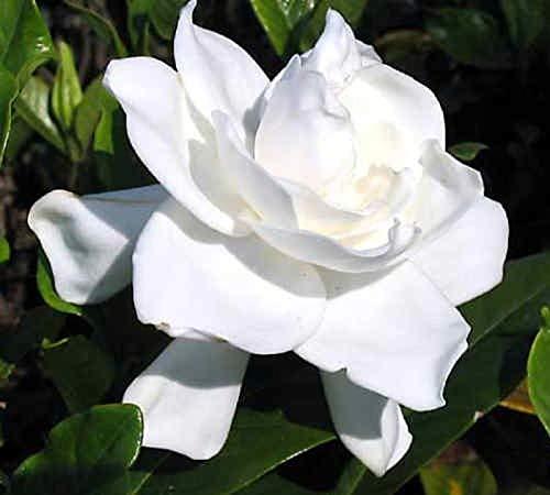 Seeds: Summer Snow Gardenia - Hardy bis Grad - sehr aromatisch - Starter-Stecker (LG) -