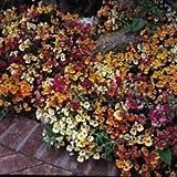 Fiore - Kings Seeds - Confezione Multicolore - Nemesia - Carnival Mix