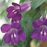 Portal Cool Blume Maurandya Barclaiana schnell wachsende Kletterpflanzen 50 Samen mexikanischen Viper
