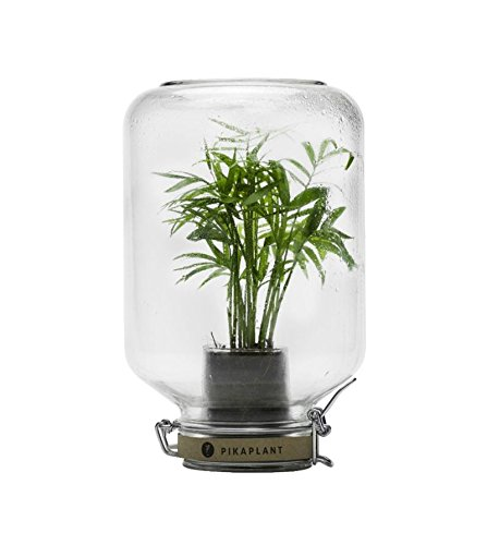 Gewächshaus autonome Jar Palme pikaplant H28cm