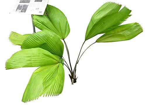 Riesen Strahlenpalme (Licuala grandis) 10 Samen