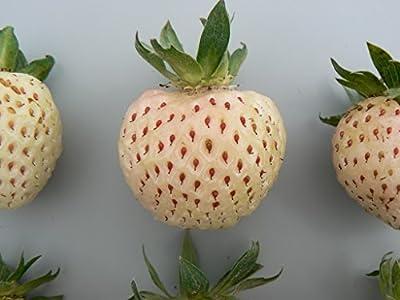 Weiße Erdbeere, 4 Pflanzen von Dominik Gartenparadies - Du und dein Garten