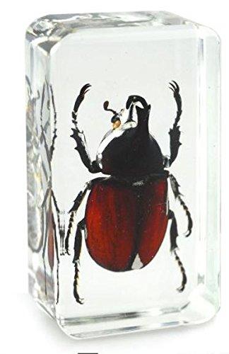 real-japanese-rhinocerous-beetle-insect-paperweight-specimen-medium-block