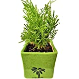 PRO365 Asparagus Indoor/Outdoor Air Purifier Plant 21 CMS (Green Ceramic Pot)