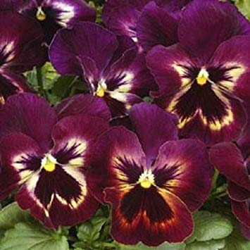 Keim Seeds: Bonsai Samen Pansy Matrix Sangria Blume -