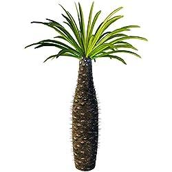 Pachypodium lamerei - Madagaskar Palme - 10 Samen -Sukkulenten