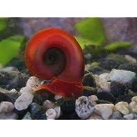 Smallworldsupplies 10 Ramshorn Snails Algae Eaters Pond Snail Aquarium Tank - Coldwater tropical
