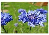 """Premier Seeds Direct D0-IRVY-EH00 Kornblume """"Centaurea Cyanus Blue Boy"""" feinste Samen (Packung mit 600)"""