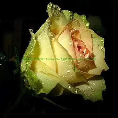 Bloom Green Co. bonsaïs 150 pcs/pack Rainbow Rose Holland Flower amant cadeau RARE 25 exotiques couleurs au choix jardin à domicile: 6