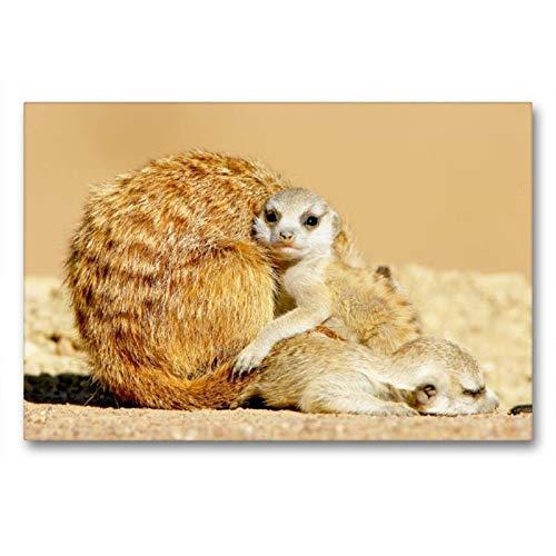 Calvendo Knuddelzeit - Peluche a Forma di suricato Che coccola la Madre, 90x60 cm