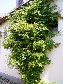 Orange Trompetenblume - Campsis radicans - blühende Kletterpflanze von Baumschule bei Du und dein Garten