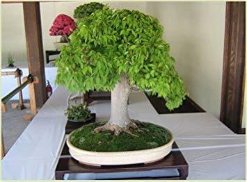 vista semi di bonsai rari di quercia, 10 pezzi/sacchetto, una buona pianta da giardino bonsai per fioriera