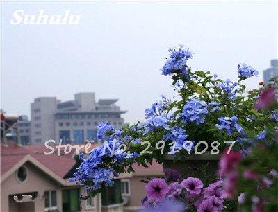 50 Pcs chaud haute neige rouge Graines de fleurs, et la cour Perennial Little Garden Bubble décoratif Sac * Le meilleur Bonsai Accueil Regarder 10