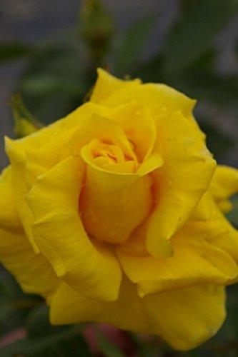 Beetrose Friesia® goldgelb fruchtiger Duft++++ Kordes Rose Preis nach Stückzahl Einzelpreis