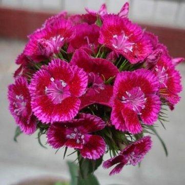 Haute Qualité 50 Graines Dianthus Linn Clarkia roses vivaces fleurs des plantes