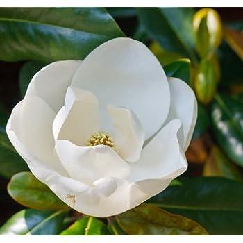 Magnolie Magnolia stellata STERNMAGNOLIE 5 Samen Tolle Blütenpracht ...