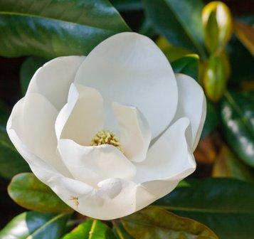 Magnolia denudata Yulan Magnolie 5 Samen Tolle Blütenpracht