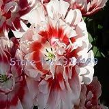 Pinkdose 24 tipos de diferentes colores de las semillas de tulipanes holandeses de estilo tulipán en maceta 120PCS muebles de jardín bonsai: 21