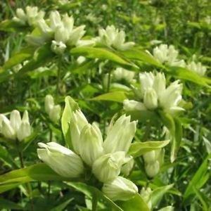 Semi di genziana (Gentiana bottiglia crema flavida) 400 + Semi