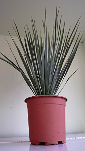 yucca-rostrata-pot-17-big-bend-yucca-yucca-rostrata-fully-hardy-spectacular-plant-exotic-brilliant-g