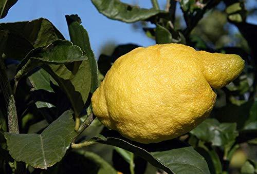 PLAT FIRM KEIM SEEDS: Lemon Tree Samen- Amalfi Coast - Sfusato Amalfitano - italienischer Herkunft - 10 Samen