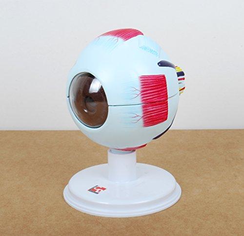 TickiT 03101 Maqueta de ojo humano a escala real con 4 aumentos, 6 piezas