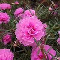 Fash Lady Real 500pcs / lot mixflower purslane bigflower, Portulaca grandiflora flor bonsai planta jardín de la casa: 9