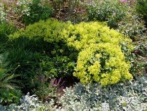 Zwerg Frauenmantel - Alchemilla erythropoda - Beetstaude von Staudengärtnerei - Du und dein Garten