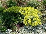 Zwerg Frauenmantel - Alchemilla erythropoda - Beetstaude von Native Plants
