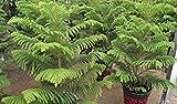 Heißer Verkaufs-20pcs Seltene Großblättrige Kiefer Samen leicht araucaria cunninghamii Baum Samen Startseite Garten Freies Verschiffen wachsen