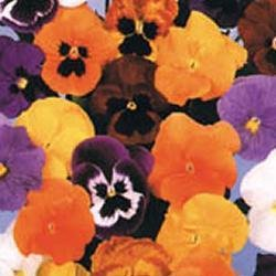 premier-seeds-direct-pan11f-pansy-winter-flowering-forerunner-mix-seeds-pack-of-200