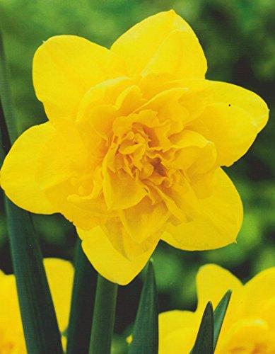 20 Großblumige gefüllte Narzissen Dick Wilden Blumenzwiebeln Narcissus