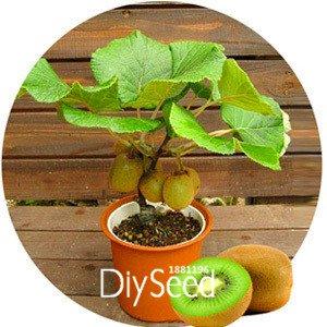 La pérdida promoción! Semillas fruta kiwi Plantas
