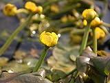 Wasserpflanzen Wolff - Nuphar lutea im Pflanzenkorb - Mummel -