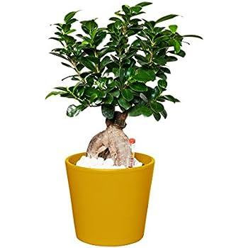EVRGREEN Ficus Ginseng | Ginseng Bonsai | Zimmerpflanze in Hydrokultur | im Set inkl. Keramiktopf (gelb) | Ficus microcarpa 'Bonsai'