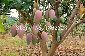 vonly 2 Stück Mango Samen Mini Mangifera Indica-Baum-Samen Bonsai-Baum-Samen Seltene Bio Köstlicher Frucht Samenpflanze DIY für Hausgarten: 19